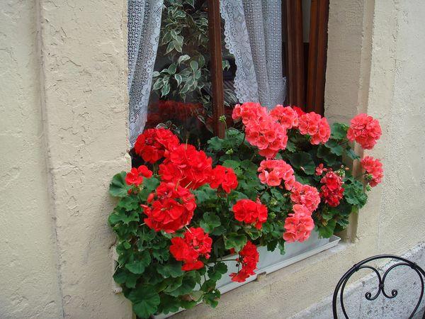 罗腾堡的天竺葵.jpg
