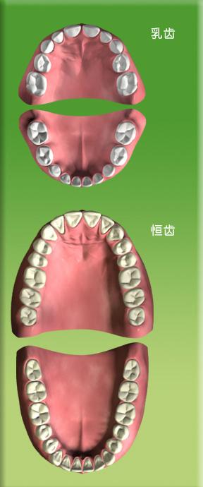 恒牙列和乳牙列.jpg